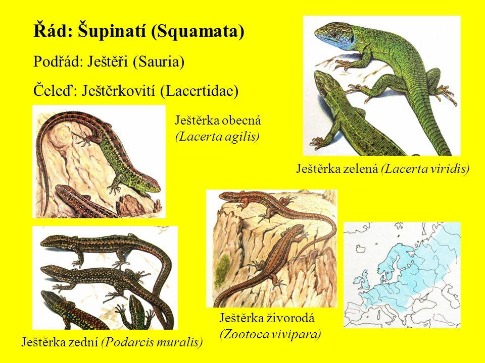 Řád: Šupinatí (Squamata)