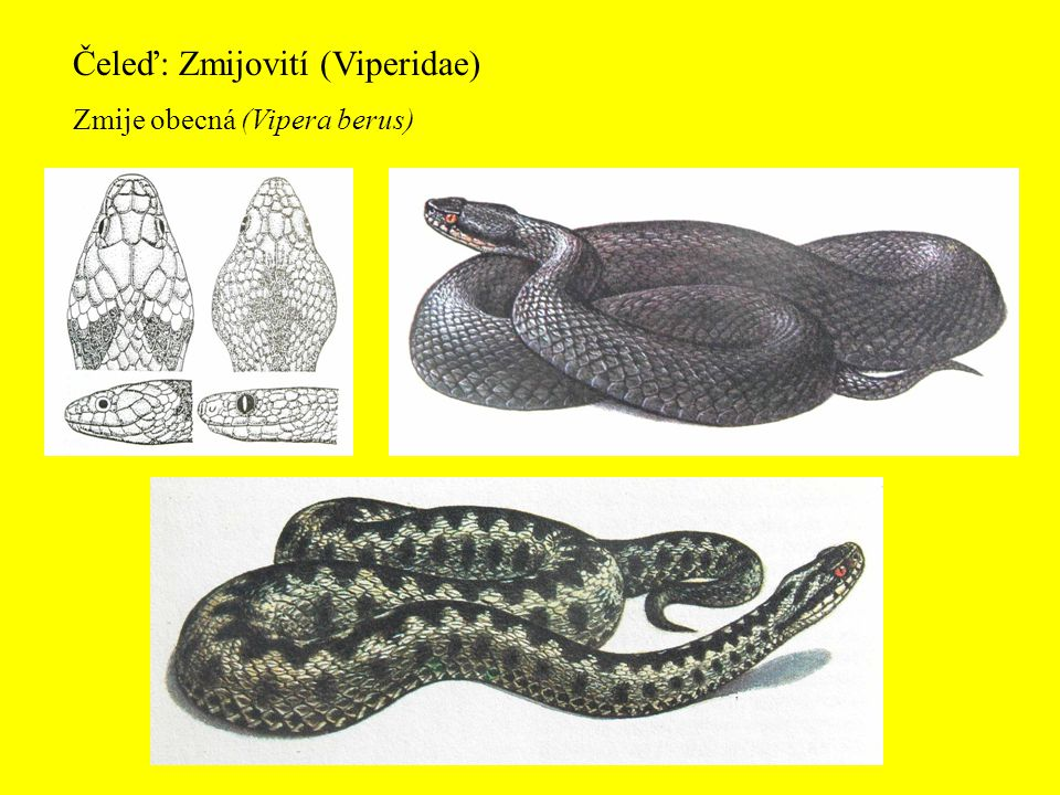 Čeleď: Zmijovití (Viperidae)