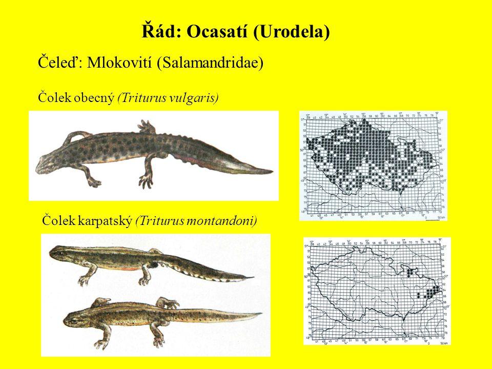 Řád: Ocasatí (Urodela)
