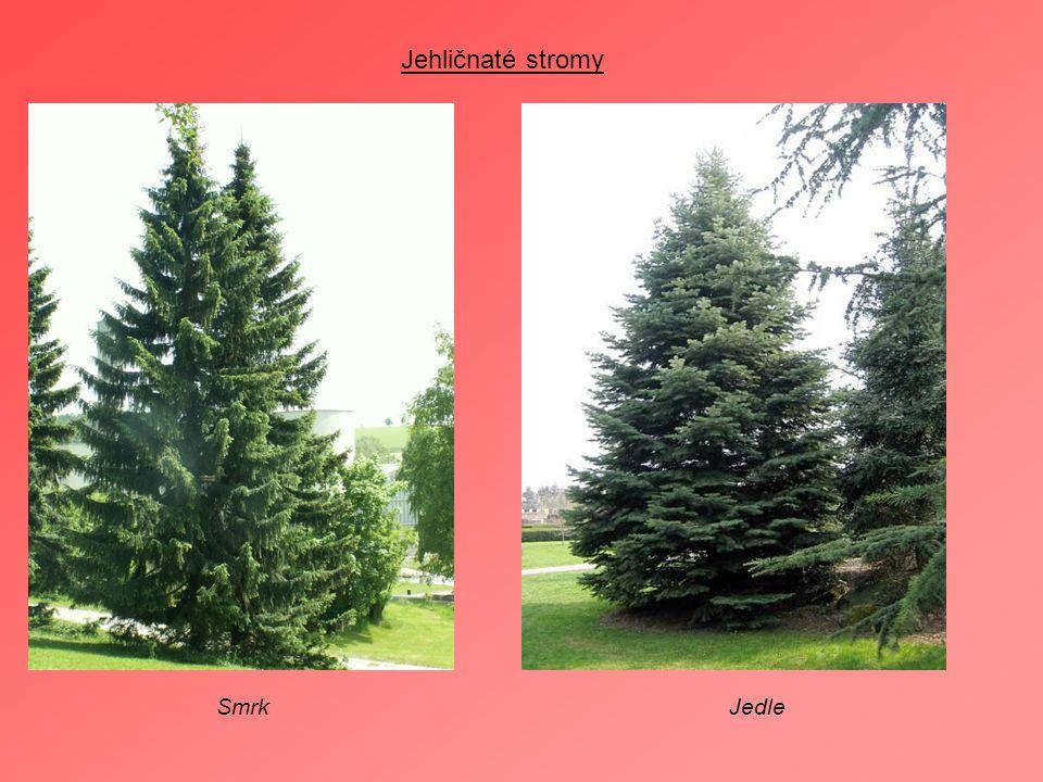 Jehličnaté stromy Smrk Jedle