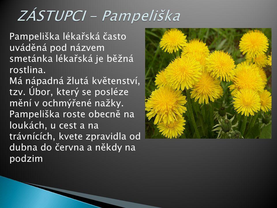 ZÁSTUPCI - Pampeliška Pampeliška lékařská často uváděná pod názvem smetánka lékařská je běžná rostlina.