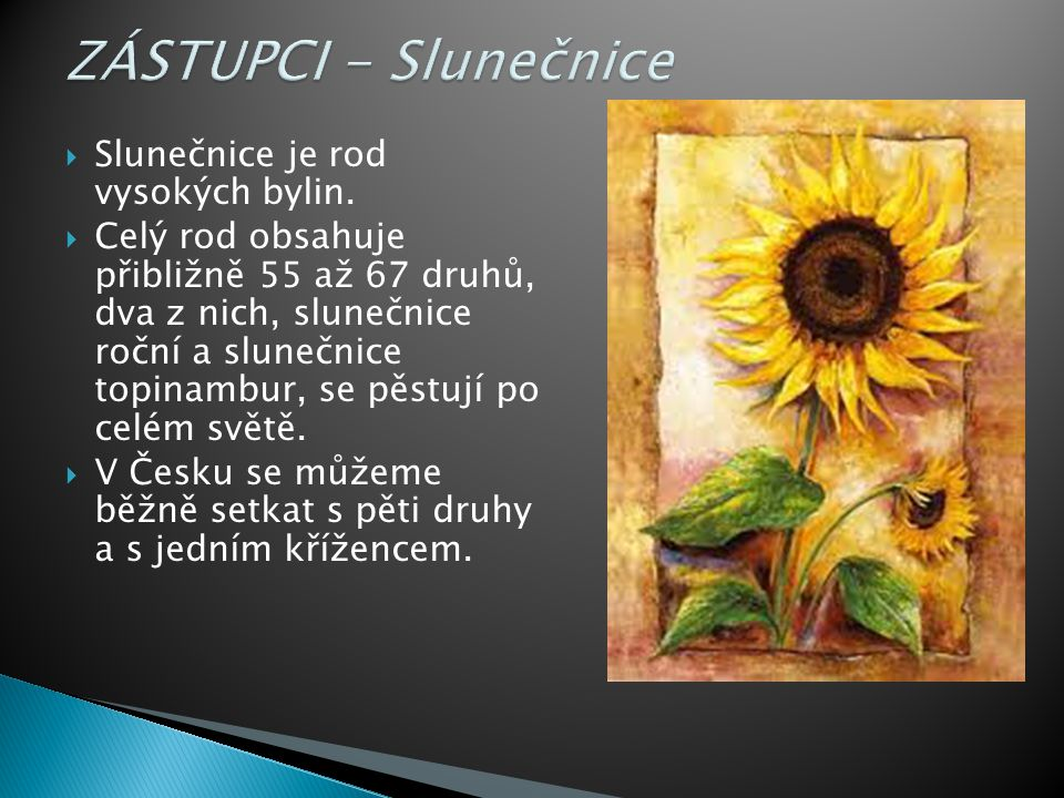 ZÁSTUPCI - Slunečnice Slunečnice je rod vysokých bylin.