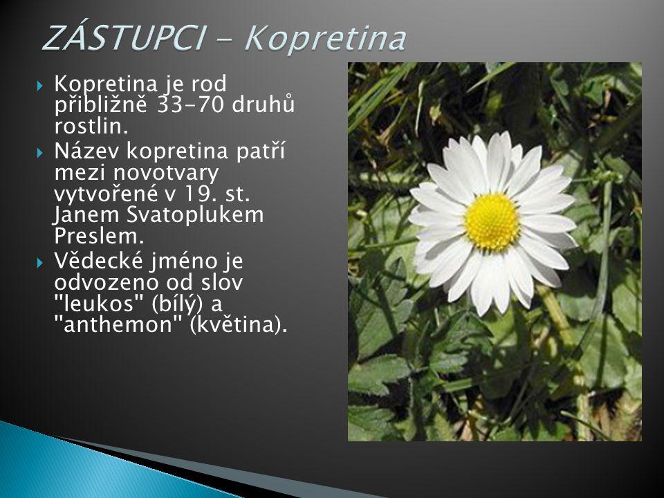 ZÁSTUPCI - Kopretina Kopretina je rod přibližně 33-70 druhů rostlin.