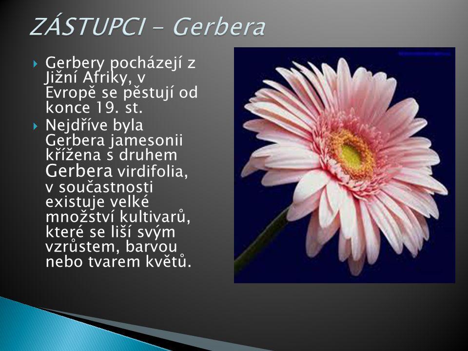 ZÁSTUPCI - Gerbera Gerbery pocházejí z Jižní Afriky, v Evropě se pěstují od konce 19. st.