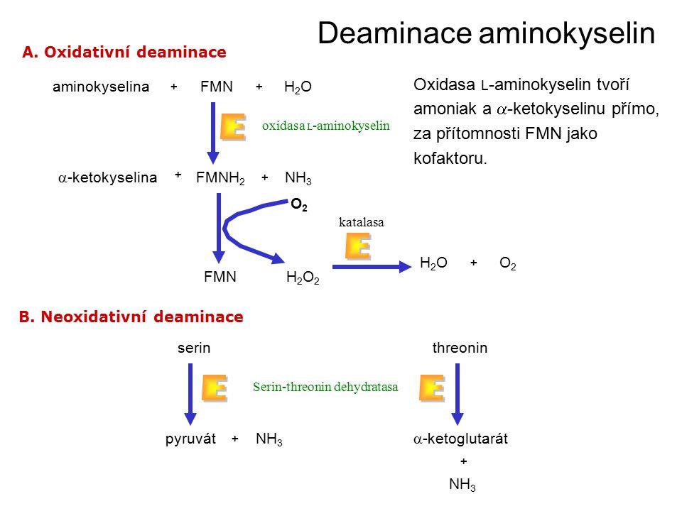 A. Oxidativní deaminace B. Neoxidativní deaminace