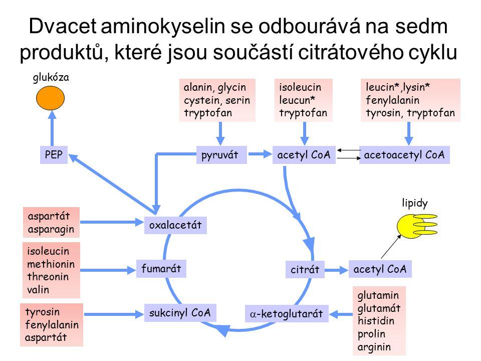 Dvacet aminokyselin se odbourává na sedm produktů, které jsou součástí citrátového cyklu