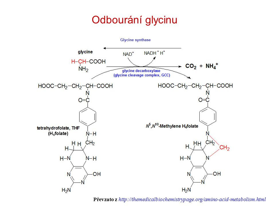 Odbourání glycinu Glycine synthase.