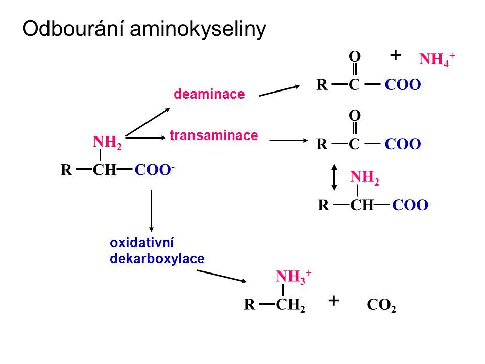 Odbourání aminokyseliny +
