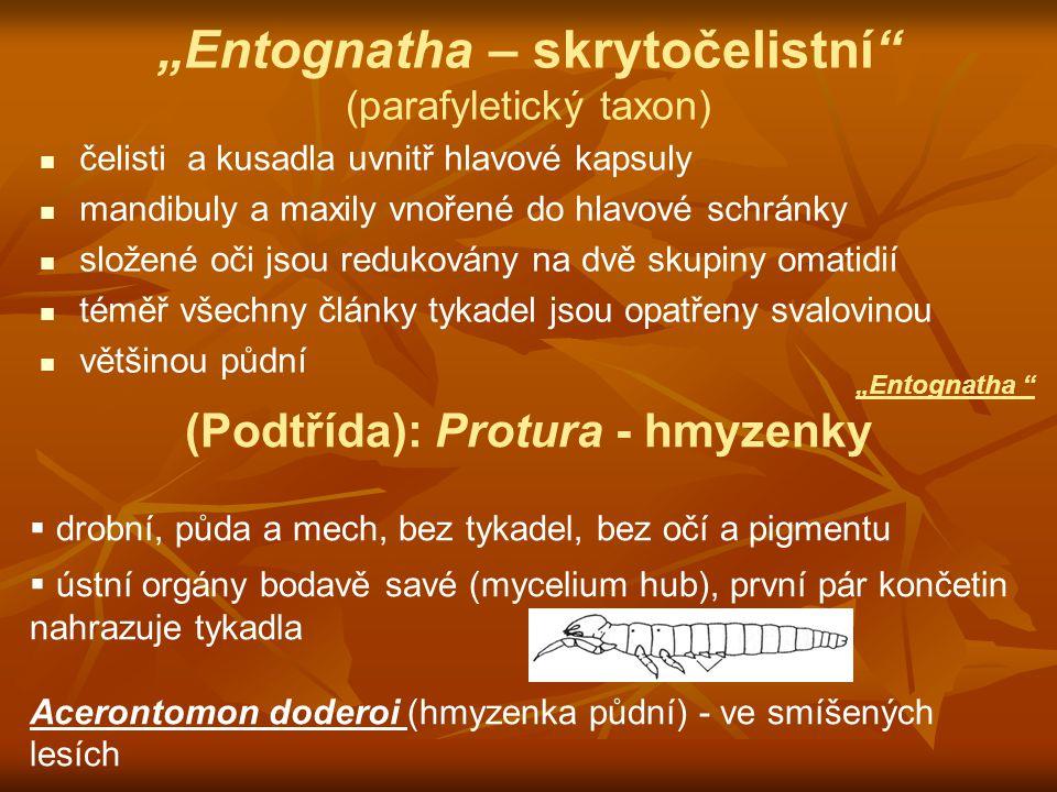 (Podtřída): Protura - hmyzenky