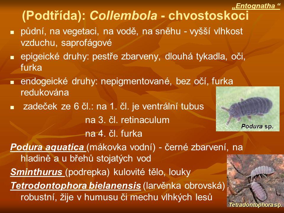 (Podtřída): Collembola - chvostoskoci