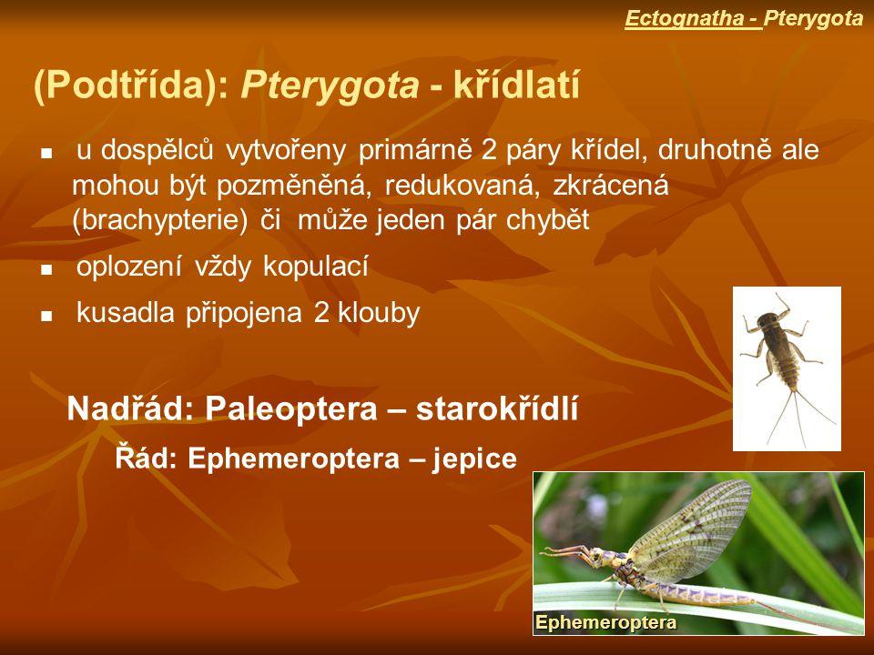 (Podtřída): Pterygota - křídlatí