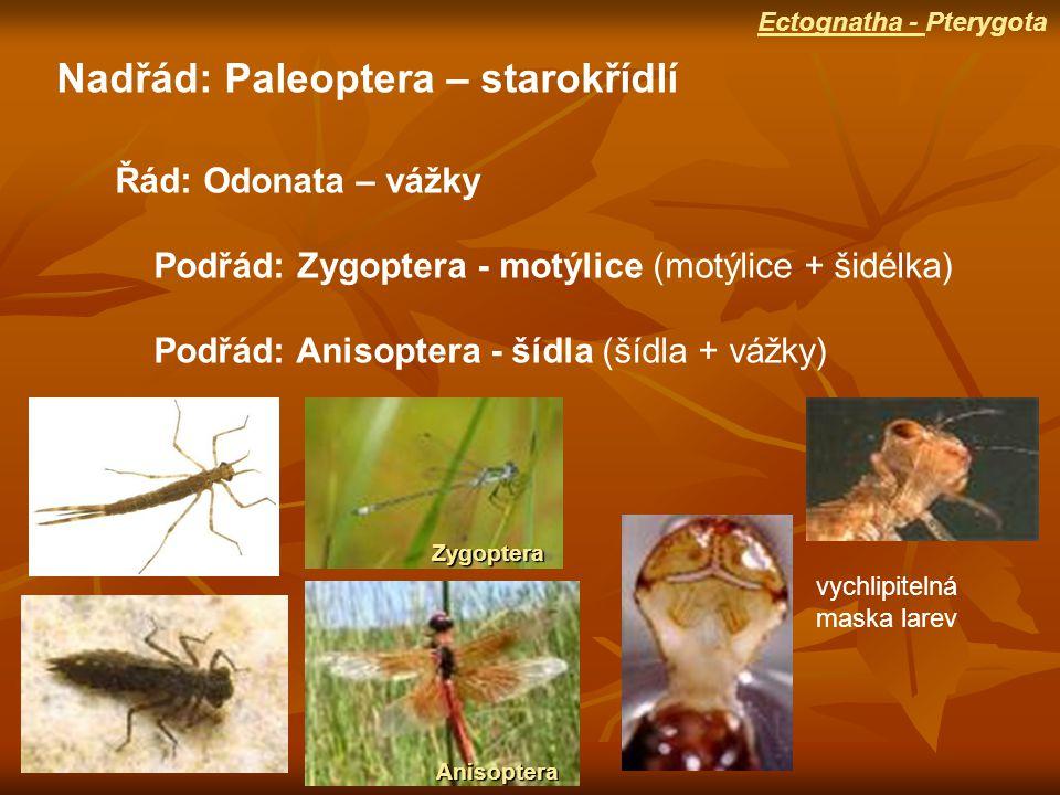 Nadřád: Paleoptera – starokřídlí