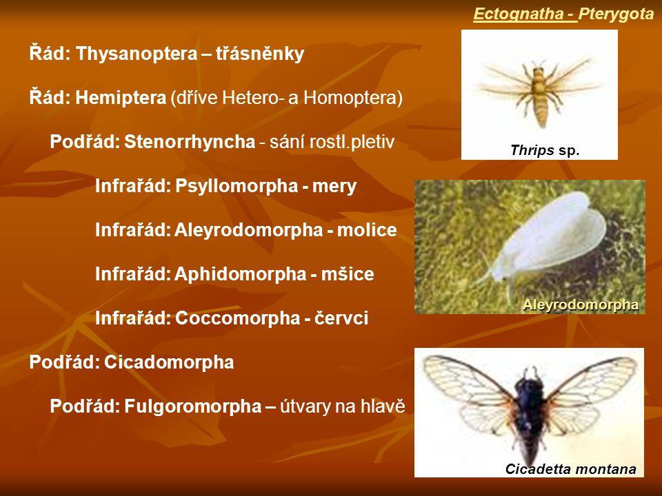 Řád: Thysanoptera – třásněnky
