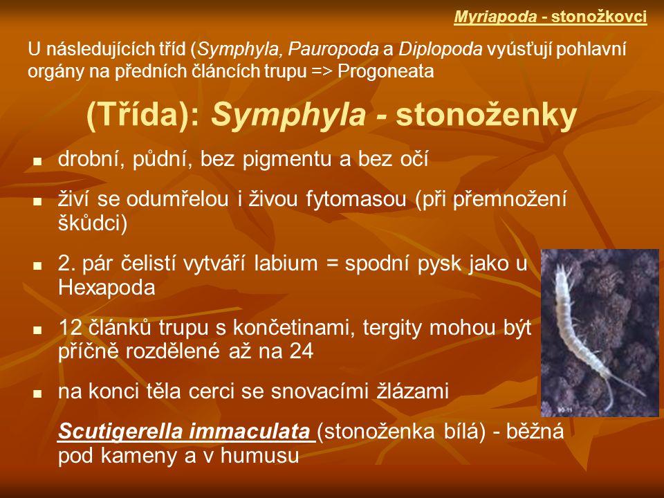(Třída): Symphyla - stonoženky