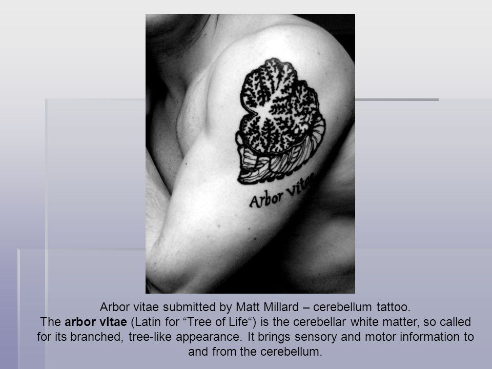 Arbor vitae submitted by Matt Millard – cerebellum tattoo.