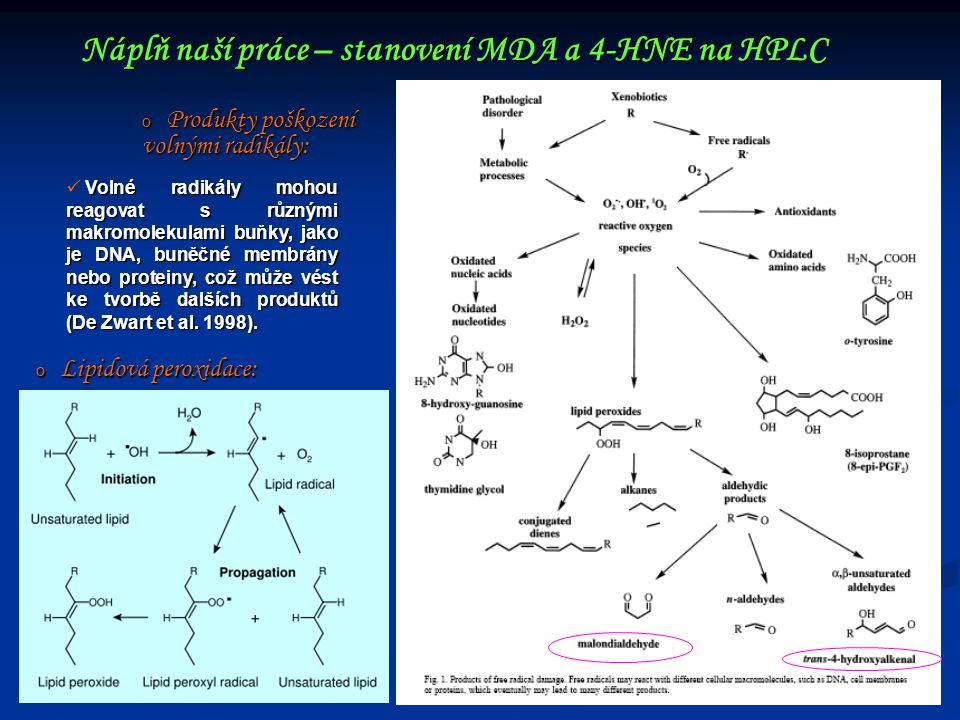 Náplň naší práce – stanovení MDA a 4-HNE na HPLC