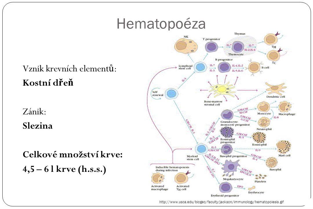 Hematopoéza Vznik krevních elementů: Kostní dřeň Zánik: Slezina Celkové množství krve: 4,5 – 6 l krve (h.s.s.)