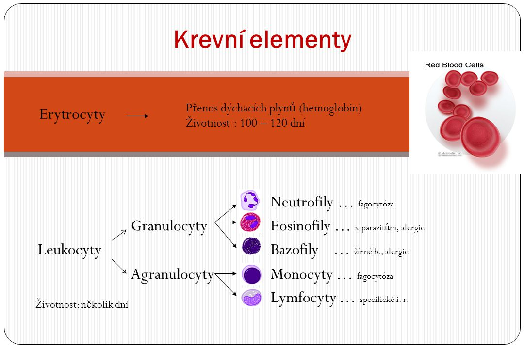 Krevní elementy Erytrocyty Neutrofily … fagocytóza