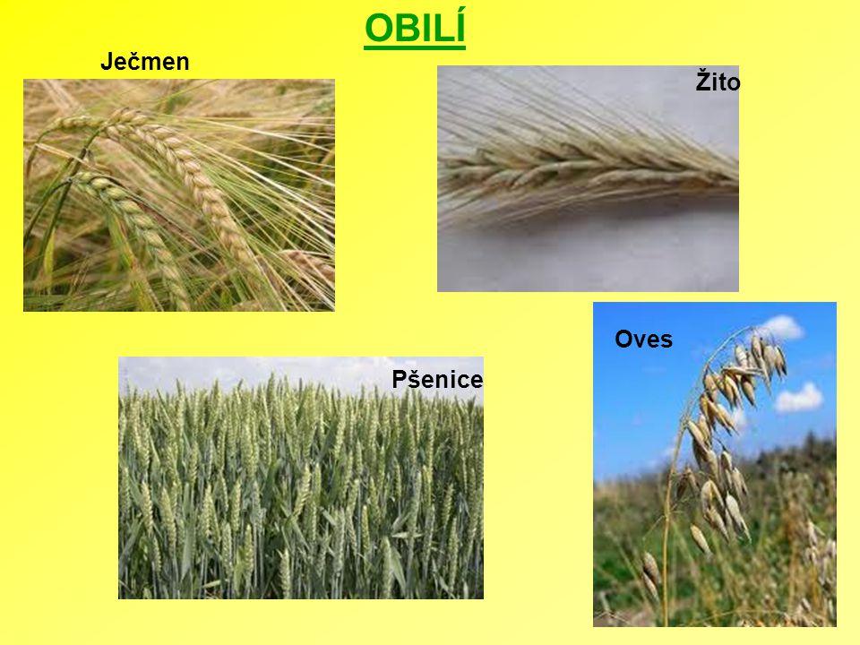 OBILÍ Ječmen Žito Oves Pšenice