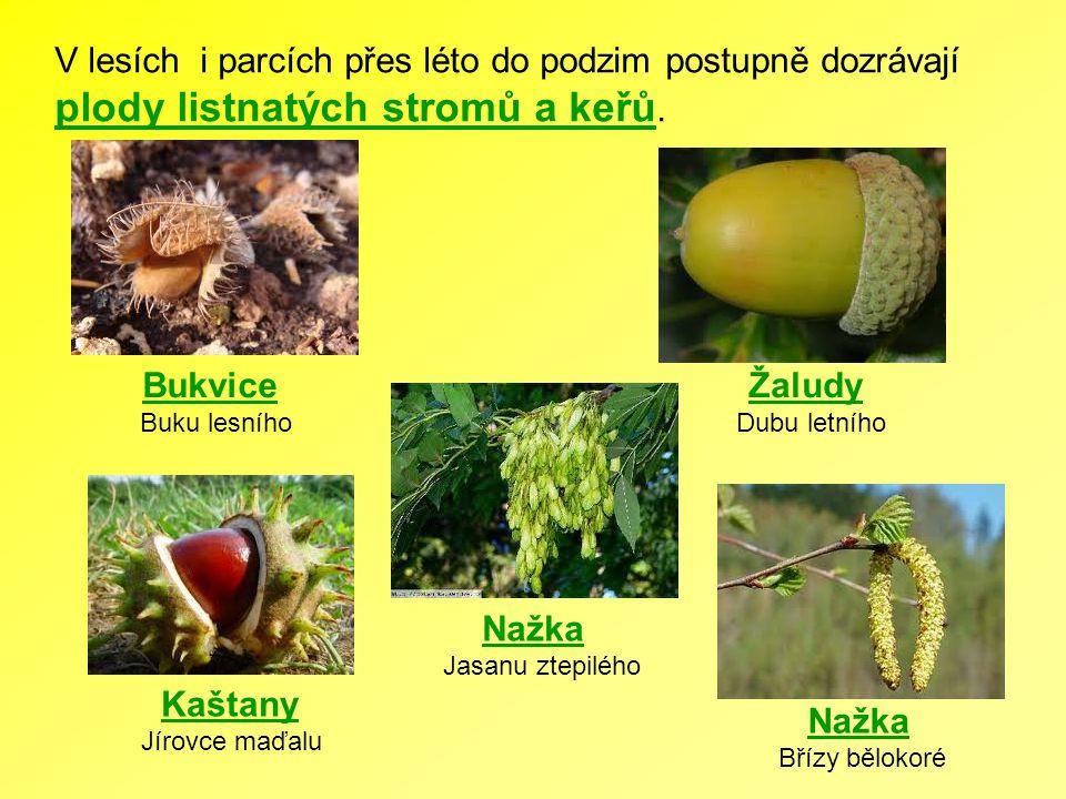 plody listnatých stromů a keřů.