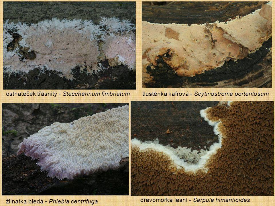 ostnateček třásnitý - Steccherinum fimbriatum