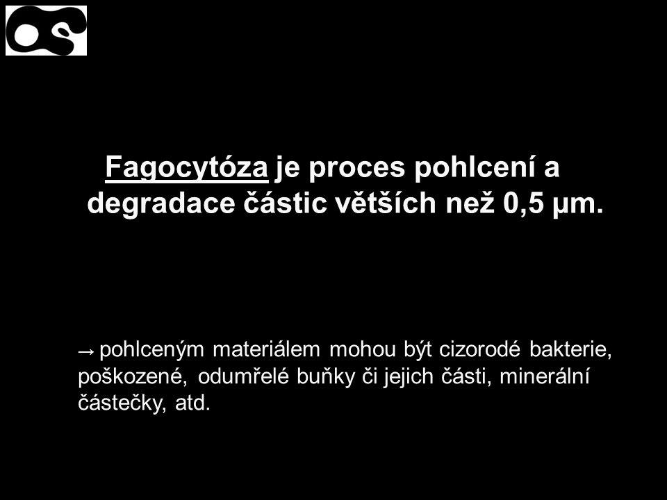 Fagocytóza je proces pohlcení a degradace částic větších než 0,5 µm.