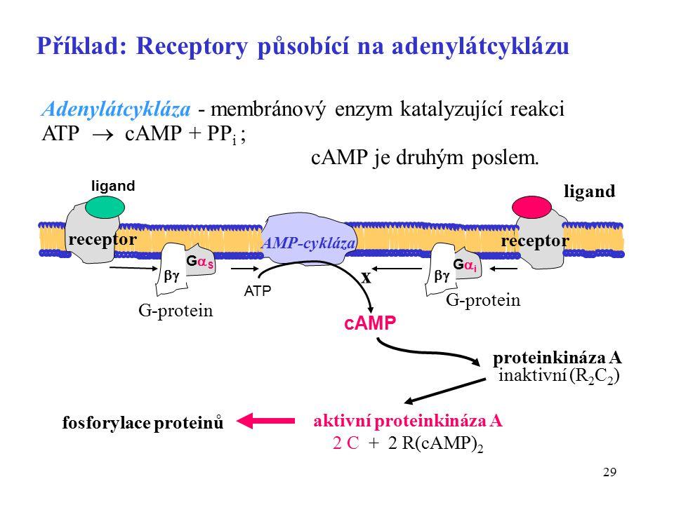 Příklad: Receptory působící na adenylátcyklázu