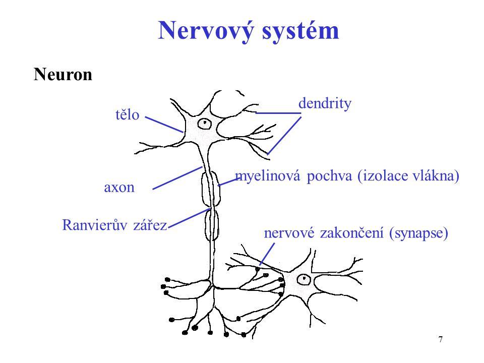Nervový systém Neuron dendrity tělo myelinová pochva (izolace vlákna)