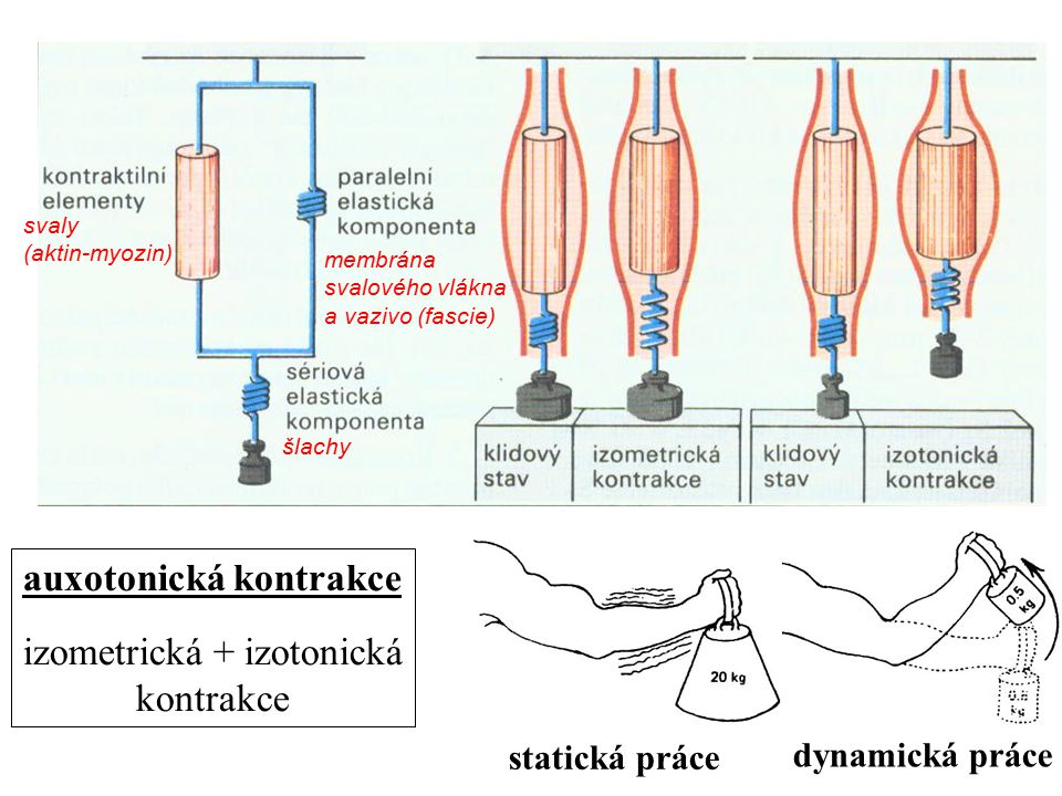 auxotonická kontrakce