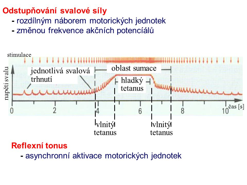 Odstupňování svalové síly - rozdílným náborem motorických jednotek