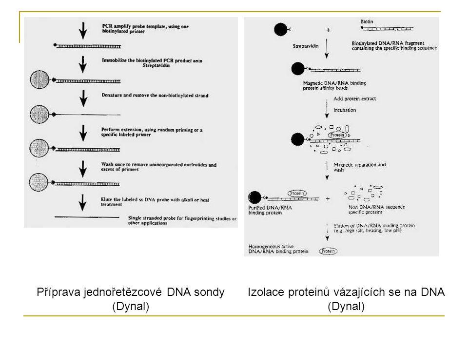 Příprava jednořetězcové DNA sondy (Dynal)