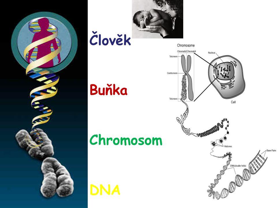 Člověk Buňka Chromosom DNA
