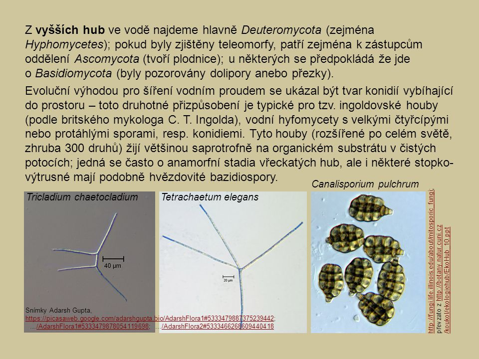Z vyšších hub ve vodě najdeme hlavně Deuteromycota (zejména Hyphomycetes); pokud byly zjištěny teleomorfy, patří zejména k zástupcům oddělení Ascomycota (tvoří plodnice); u některých se předpokládá že jde o Basidiomycota (byly pozorovány dolipory anebo přezky).