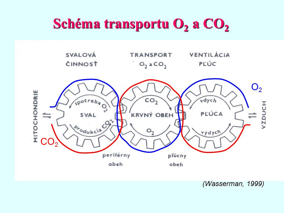 Schéma transportu O2 a CO2