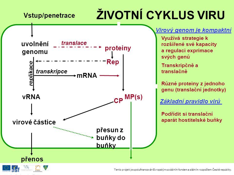 ŽIVOTNÍ CYKLUS VIRU Vstup/penetrace uvolnění genomu proteiny Rep mRNA