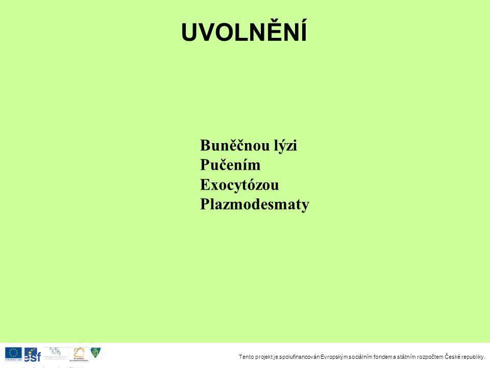UVOLNĚNÍ Buněčnou lýzi Pučením Exocytózou Plazmodesmaty