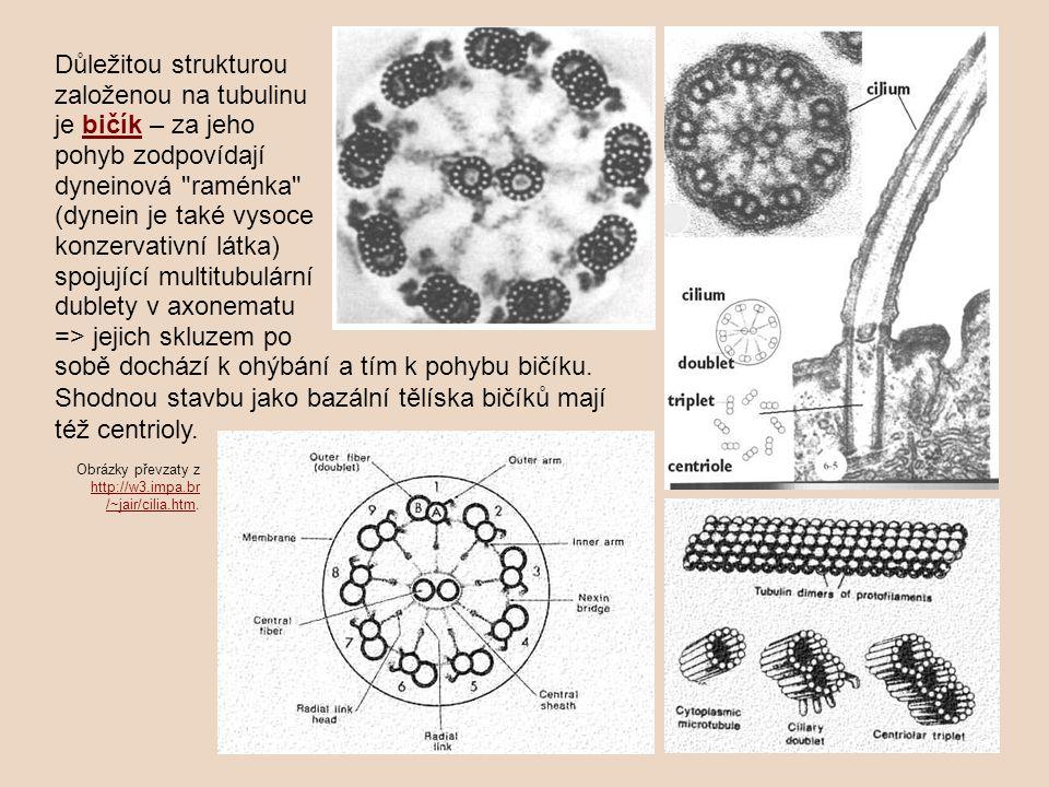 Důležitou strukturou založenou na tubulinu je bičík – za jeho pohyb zodpovídají dyneinová raménka (dynein je také vysoce konzervativní látka) spojující multitubulární dublety v axonematu => jejich skluzem po