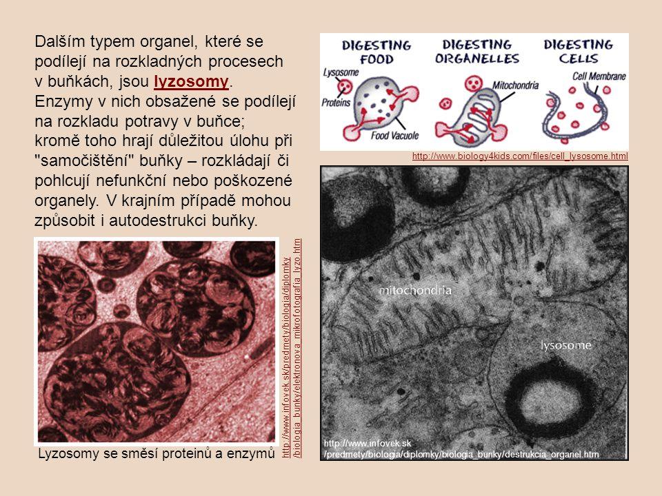 Dalším typem organel, které se podílejí na rozkladných procesech v buňkách, jsou lyzosomy.