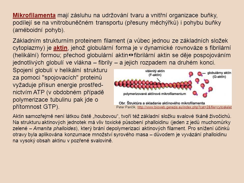 Mikrofilamenta mají zásluhu na udržování tvaru a vnitřní organizace buňky, podílejí se na vnitrobuněčném transportu (přesuny měchýřků) i pohybu buňky (améboidní pohyb).