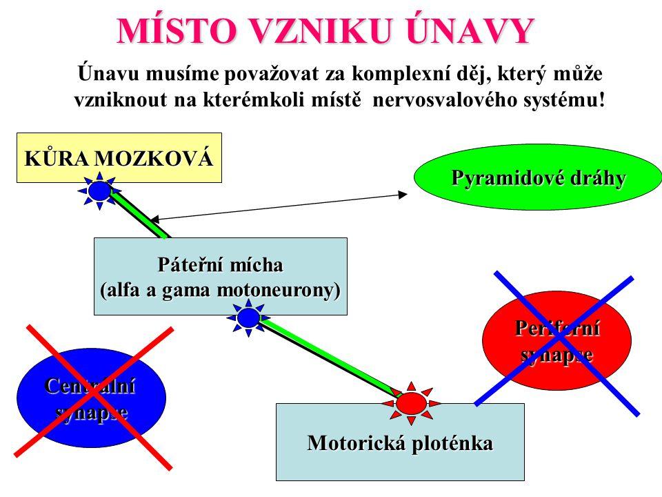 (alfa a gama motoneurony)
