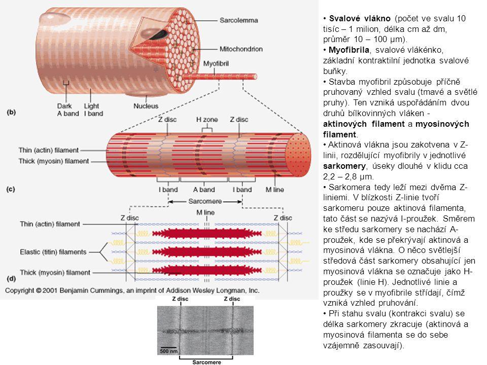 Svalové vlákno (počet ve svalu 10 tisíc – 1 milion, délka cm až dm, průměr 10 – 100 µm).