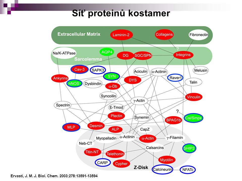 Síť proteinů kostamer Ervasti, J. M. J. Biol. Chem. 2003;278:13591-13594