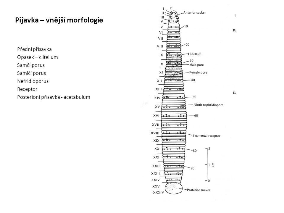Pijavka – vnější morfologie