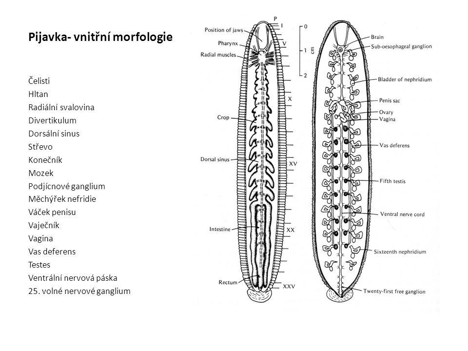 Pijavka- vnitřní morfologie