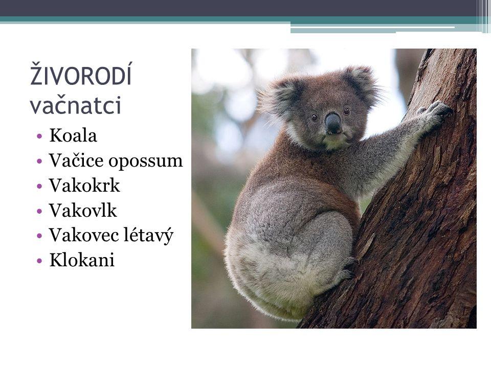 ŽIVORODÍ vačnatci Koala Vačice opossum Vakokrk Vakovlk Vakovec létavý