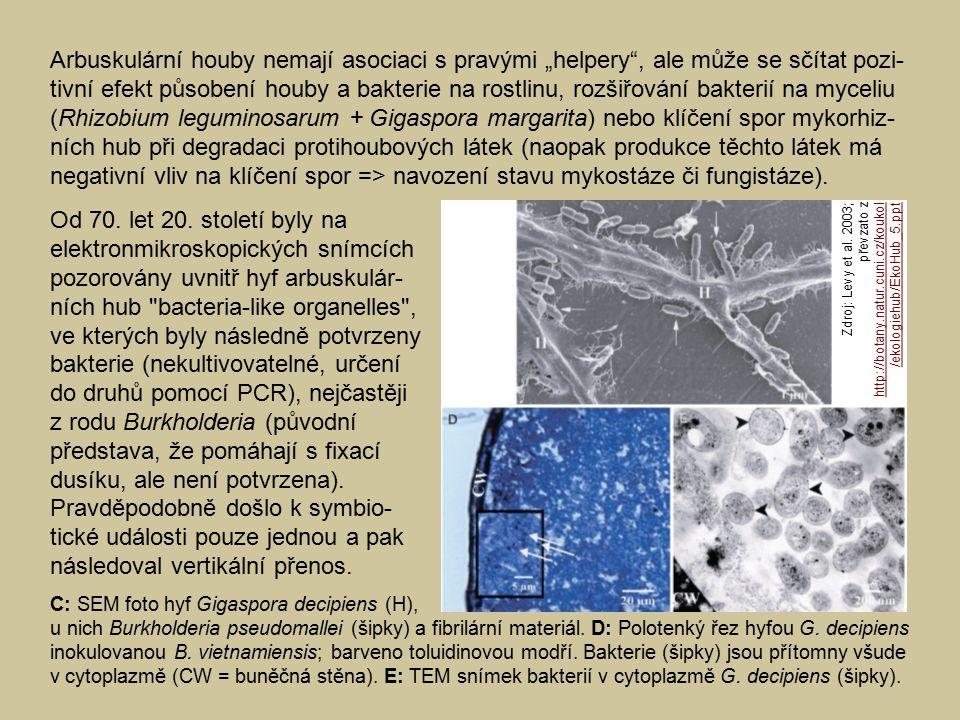 """Arbuskulární houby nemají asociaci s pravými """"helpery , ale může se sčítat pozi-tivní efekt působení houby a bakterie na rostlinu, rozšiřování bakterií na myceliu (Rhizobium leguminosarum + Gigaspora margarita) nebo klíčení spor mykorhiz-ních hub při degradaci protihoubových látek (naopak produkce těchto látek má negativní vliv na klíčení spor => navození stavu mykostáze či fungistáze)."""