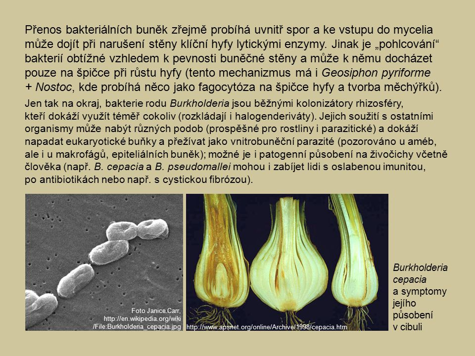 """Přenos bakteriálních buněk zřejmě probíhá uvnitř spor a ke vstupu do mycelia může dojít při narušení stěny klíční hyfy lytickými enzymy. Jinak je """"pohlcování bakterií obtížné vzhledem k pevnosti buněčné stěny a může k němu docházet pouze na špičce při růstu hyfy (tento mechanizmus má i Geosiphon pyriforme + Nostoc, kde probíhá něco jako fagocytóza na špičce hyfy a tvorba měchýřků)."""
