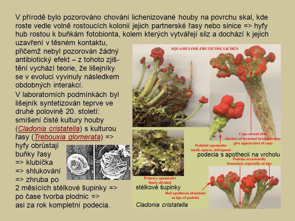 V přírodě bylo pozorováno chování lichenizované houby na povrchu skal, kde roste vedle volně rostoucích kolonií jejich partnerské řasy nebo sinice => hyfy hub rostou k buňkám fotobionta, kolem kterých vytvářejí sliz a dochází k jejich