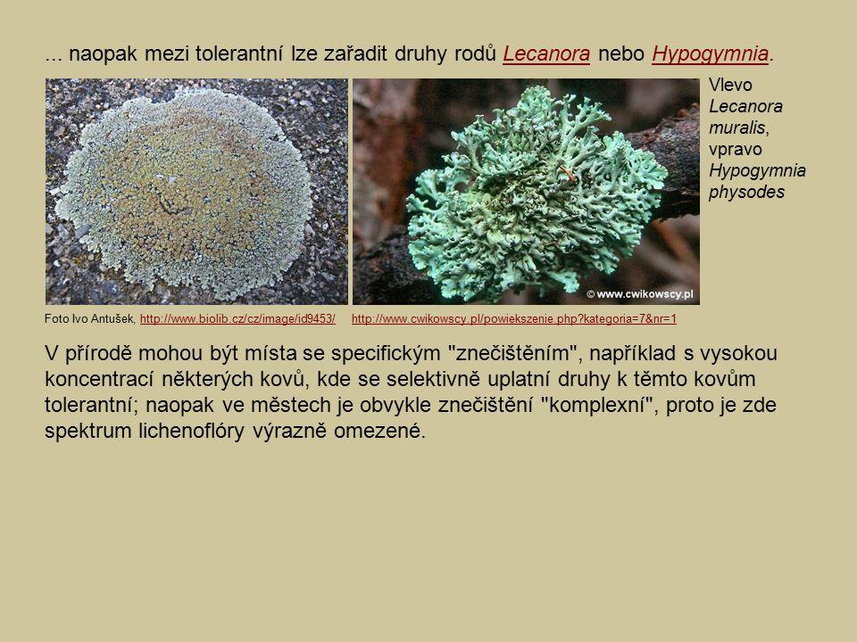 ... naopak mezi tolerantní lze zařadit druhy rodů Lecanora nebo Hypogymnia.