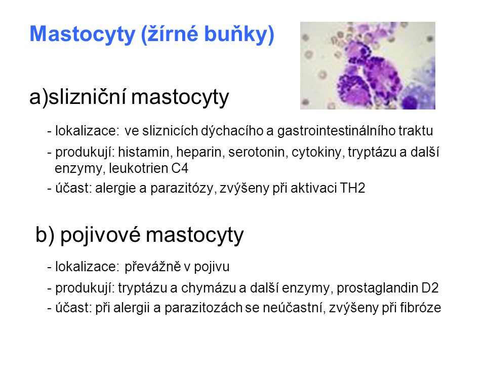 Mastocyty (žírné buňky) a)slizniční mastocyty